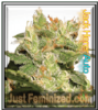Auto Jack Herer Just Fem Mix & Match Seeds